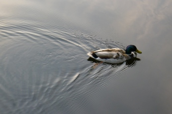wake-behind-duck